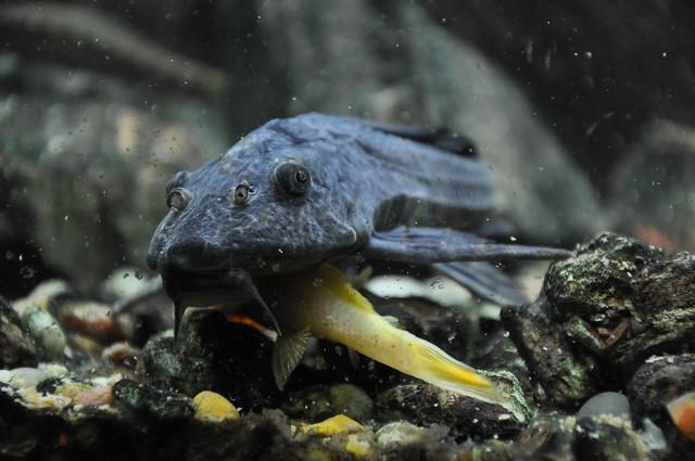 Common pleco, suckermouth catfish Flickr - Photo Sharing!