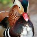 Mandarin Duck by micheleart