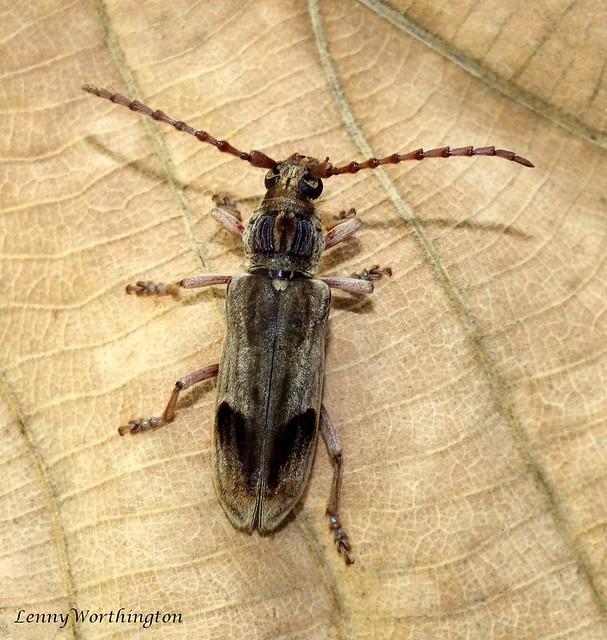 Rhytidodera mutabilis Holzschuh,1993 32, Fujifilm FinePix HS20EXR