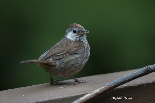 Leucistic song sparrow