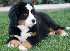 moscow watchdog(0.0), puppy(0.0), appenzeller sennenhund(0.0), english shepherd(0.0), dog breed(1.0), animal(1.0), dog(1.0), greater swiss mountain dog(1.0), miniature australian shepherd(1.0), entlebucher mountain dog(1.0), bernese mountain dog(1.0), carnivoran(1.0),