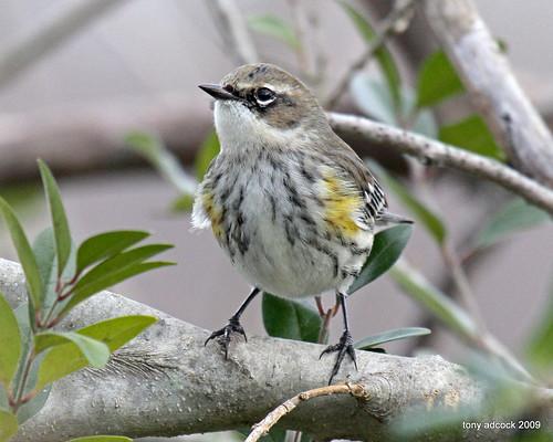 bird co warbler yellowrumpedwarbler dendroicacoronata canonef100400mmf4556lisusm watchingbird butterbuttcbcchristmas countbird watcherbirdingaviannaturehalifax