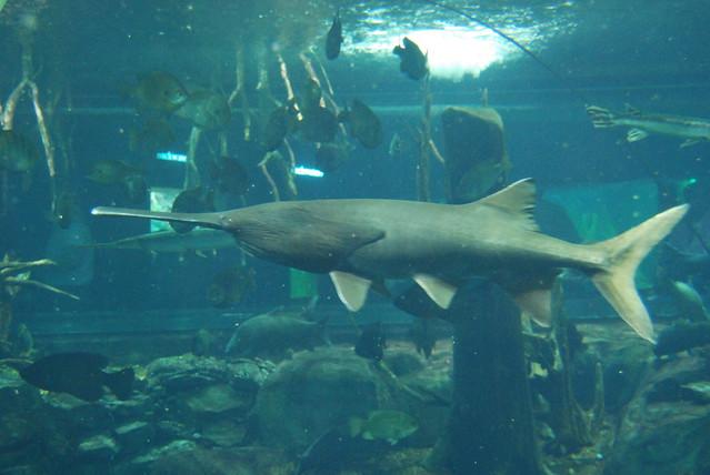 American paddlefish flickr photo sharing for Gustafson s smoked fish