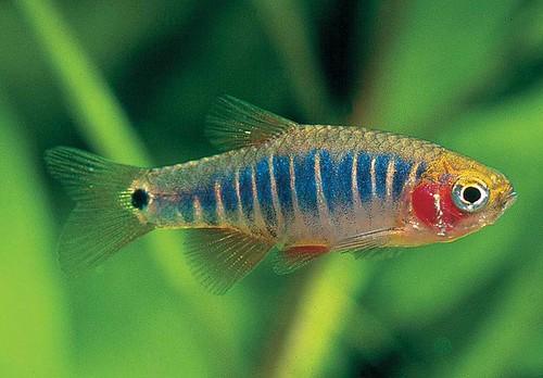 Emerald Dwarf Rasbora (Microrasbora erythromicron) fish