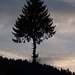 Small photo of Solitary Norway Spruce tree at sunset