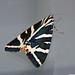 Ecaille chinée (Euplagia quadripunctaria) ©Le No