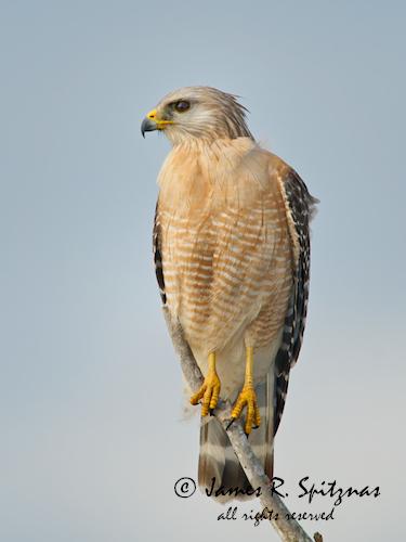 usa bird hawk raptor fl titusville redshoulderedhawk falconiformes buteolineatus accipitridae aulux blueheronwetlands goldfeatherphoto