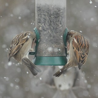 Two Sparrows are ALL IN here... third one on approach! Snowy day action at my feeder...