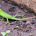 Green crested lizard - Photo (c) Michael Jefferies, some rights reserved (CC BY-NC)