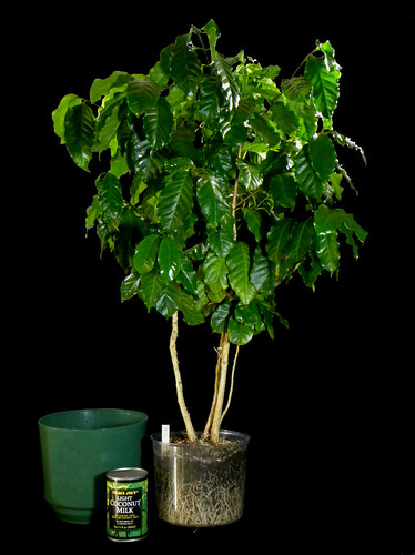 Coffee Tree Grown From A 4 Quot Pot Size Plant This Coffee