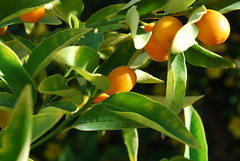 shrub(0.0), calamondin(0.0), flower(0.0), plant(0.0), produce(0.0), food(0.0), evergreen(1.0), citrus(1.0), branch(1.0), leaf(1.0), tree(1.0), kumquat(1.0), flora(1.0), green(1.0), fruit(1.0), bitter orange(1.0),
