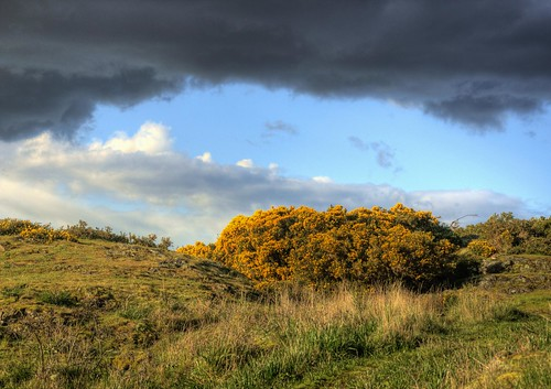 Gorse at Anderson Hill Park