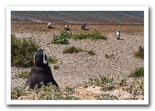 pingüinera, Península Valdés