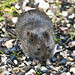 California Vole - Photo (c) Larry Miller, some rights reserved (CC BY-NC)