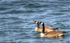 duck(0.0), canard(0.0), mergus(0.0), animal(1.0), water bird(1.0), wing(1.0), water(1.0), sea(1.0), fauna(1.0), waterfowl(1.0), seaduck(1.0), ducks, geese and swans(1.0), beak(1.0), bird(1.0), wildlife(1.0),
