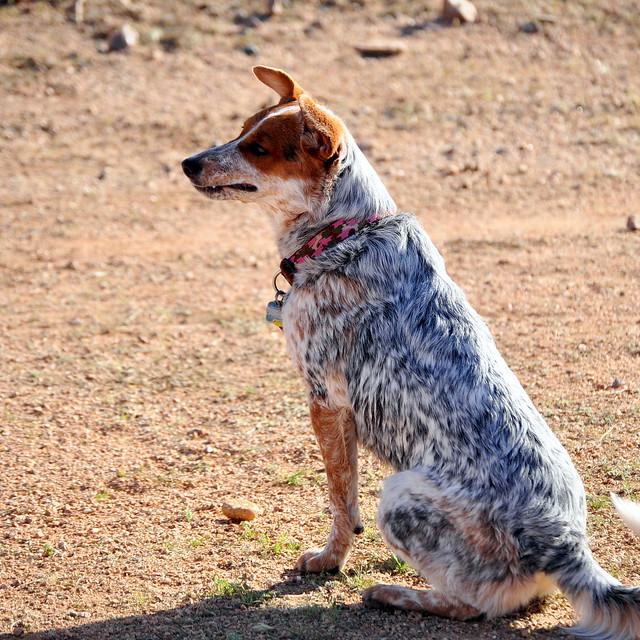 Australian Cattle Dog Rescue Az