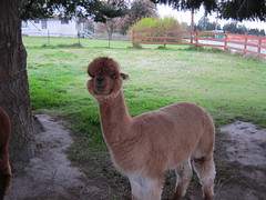 alpaca, animal, farm, llama, fauna, camel-like mammal,