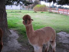 arabian camel(0.0), alpaca(1.0), animal(1.0), farm(1.0), llama(1.0), fauna(1.0), camel-like mammal(1.0),