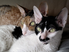 kitten(0.0), peterbald(0.0), devon rex(0.0), manx(0.0), animal(1.0), cornish rex(1.0), small to medium-sized cats(1.0), pet(1.0), mammal(1.0), european shorthair(1.0), oriental shorthair(1.0), close-up(1.0), cat(1.0), whiskers(1.0), domestic short-haired cat(1.0),