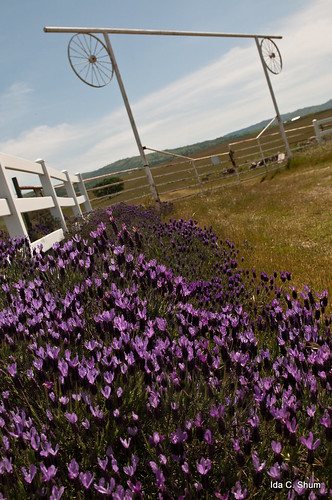 california ranch flowers flower macro nature fence landscape nikon gate lavender hills greenvalley livermore ida shum whitefence d300 idashum