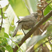 Small photo of Jungle Babbler (Turdoides striata)