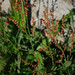 Rumex acetosella- Red Sorrel