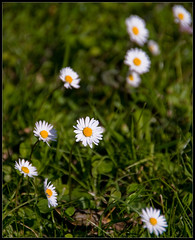 field(0.0), garden cosmos(0.0), lawn(0.0), flower(1.0), grass(1.0), plant(1.0), marguerite daisy(1.0), chamaemelum nobile(1.0), tanacetum parthenium(1.0), daisy(1.0), wildflower(1.0), flora(1.0), oxeye daisy(1.0), meadow(1.0), daisy(1.0),