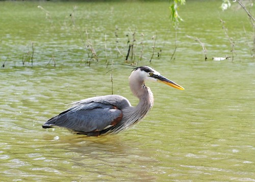 great blue heron with macro lens