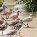 Red Knots and Co.