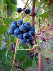 shrub(0.0), flower(0.0), chokeberry(0.0), bilberry(0.0), berry(1.0), branch(1.0), damson(1.0), grape(1.0), produce(1.0), fruit(1.0), food(1.0),