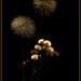 Aquenios ...  (senecio alboranicus y taraxacum officinale)