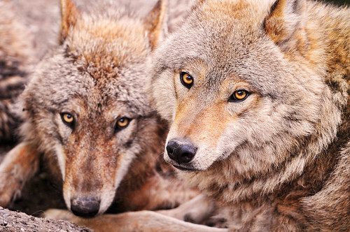 Two wolves by Tambako the Jaguar