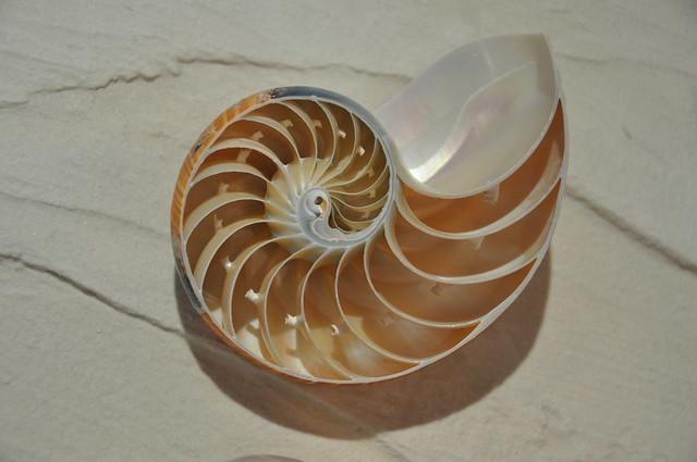 Chambered nautilus flickr photo sharing for Nautilus garden designs