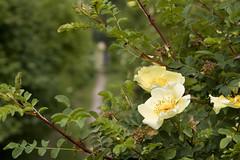 blossom, flower, branch, yellow, tree, rosa rubiginosa, rosa canina, flora, rosa multiflora, rosa pimpinellifolia,
