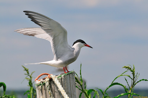 birds geotagged terns shediac grouptags abigfave avianexcellence allrightsreserved©drgnmastrpjg eiap rawjpg geo:lat=46227102 geo:lon=64545937 ©pjgergelyallrightsreserved