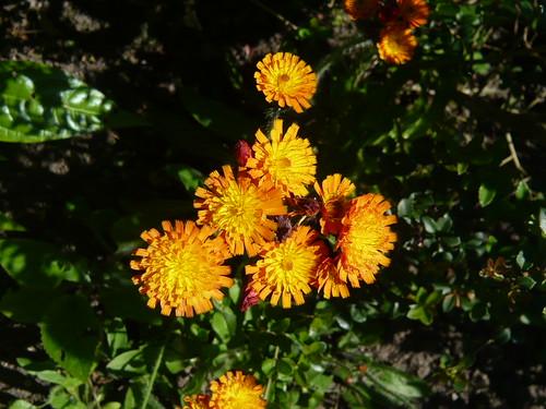 weedy dandelion