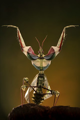 Idolomantis Diabolica (Praying Mantis), by Igor Siwanowicz @ photo.net