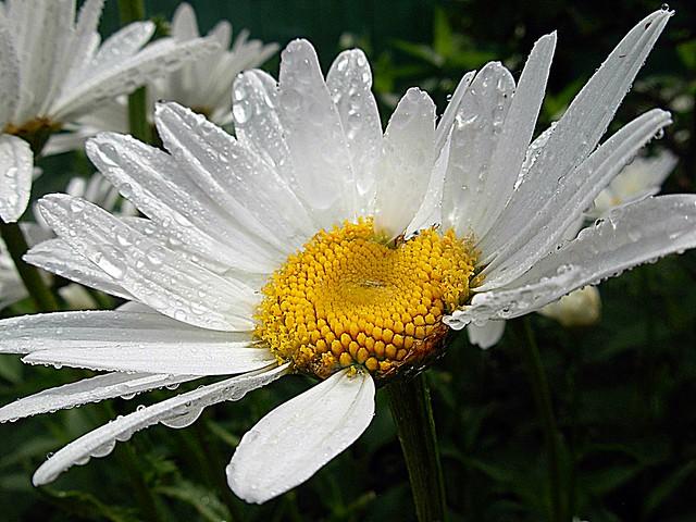 2017-07-03 daisy (19), Nikon COOLPIX L5