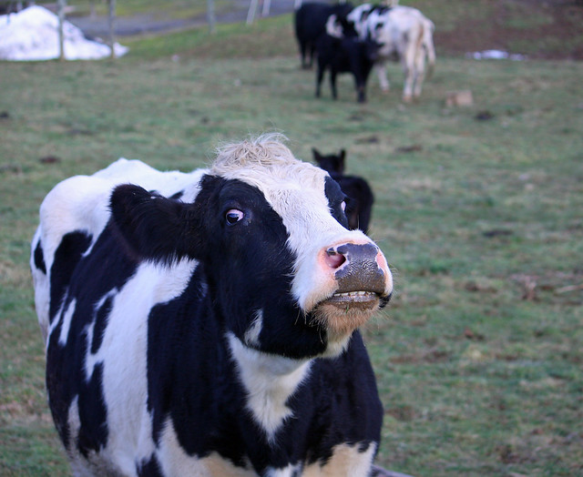 Funny Cow Face   Explore JoJoClick's photos on Flickr ...