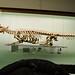 Small photo of Nile crocodile