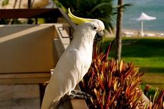 cockatoo, animal, parrot, wing, pet, sulphur crested cockatoo, fauna, beak, bird,
