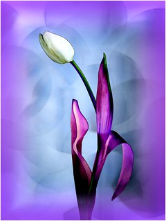 Purple Art Deco Tulip