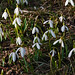 Late winter snowdrops inside a park