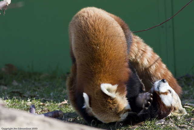 Red Panda Playing