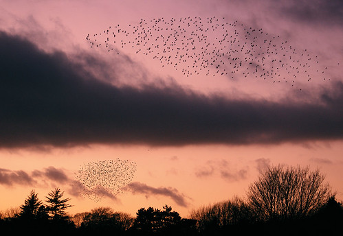 Starlings at dusk