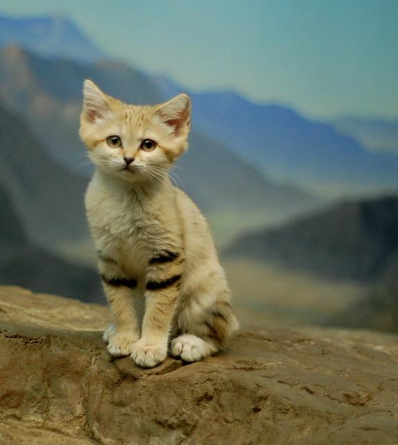 Posing Sand Kitten