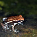 Marbled Poison Frog - Photo (c) Brad Wilson, all rights reserved