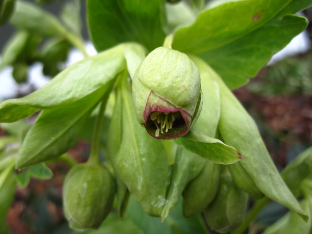 Bright green buds and leaves of a early blooming Hellebore. Photo by Rebecca Bullene.