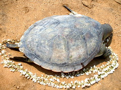 animal, turtle, box turtle, reptile, fauna, common snapping turtle, emydidae, wildlife, tortoise,