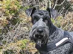 dog breed, animal, dog, pet, mammal, standard schnauzer, schnauzer, cesky terrier, miniature schnauzer, terrier,